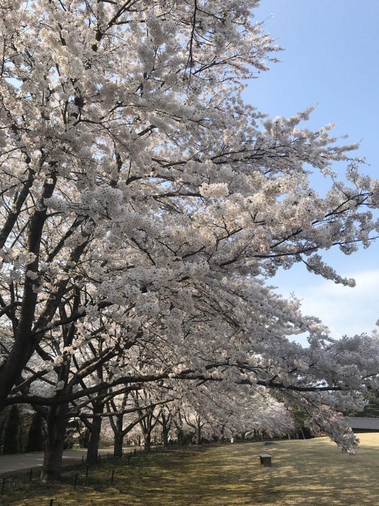 美しく咲くさくらの木々